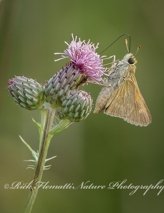 Skipper Butterfly on Thistle-1
