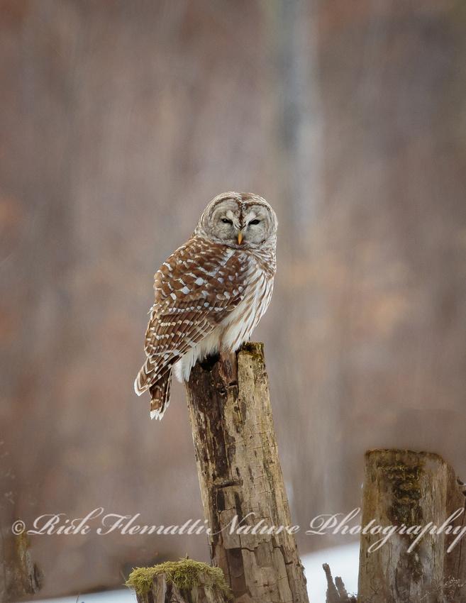 Barred Owl-2
