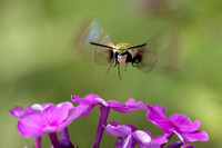 Hummingbird Moth-1