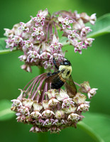 Mining Bee and Milkweed-1