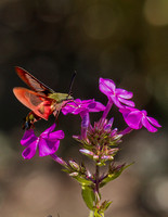 Hummingbird Moth on Flox-1