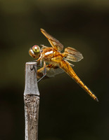 Meadowhawk Dragonfly-1