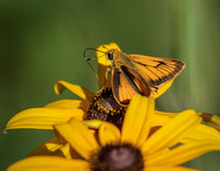 Fiery Skipper-1