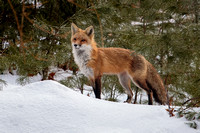 Red Fox in Winter-1