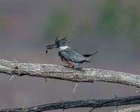 Belted Kingfisher with fish-1
