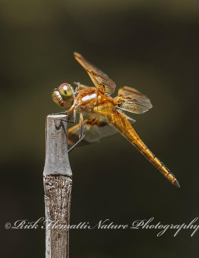 Meadowhawk Dragonfly-1