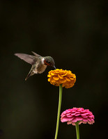 Ruby-throated hummingbird on Zinnia