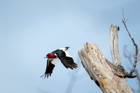 Red-headed Woodpecker in flight-1
