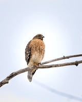 Red=shouldered Hawk 2-1