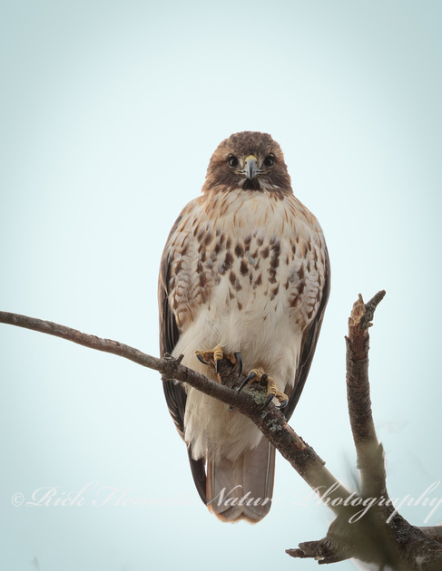 Red-tail Hawk-1