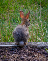 Baby Cottontail Rabbit-1