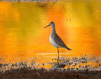 Greater Yellowlegs with Fall Colors